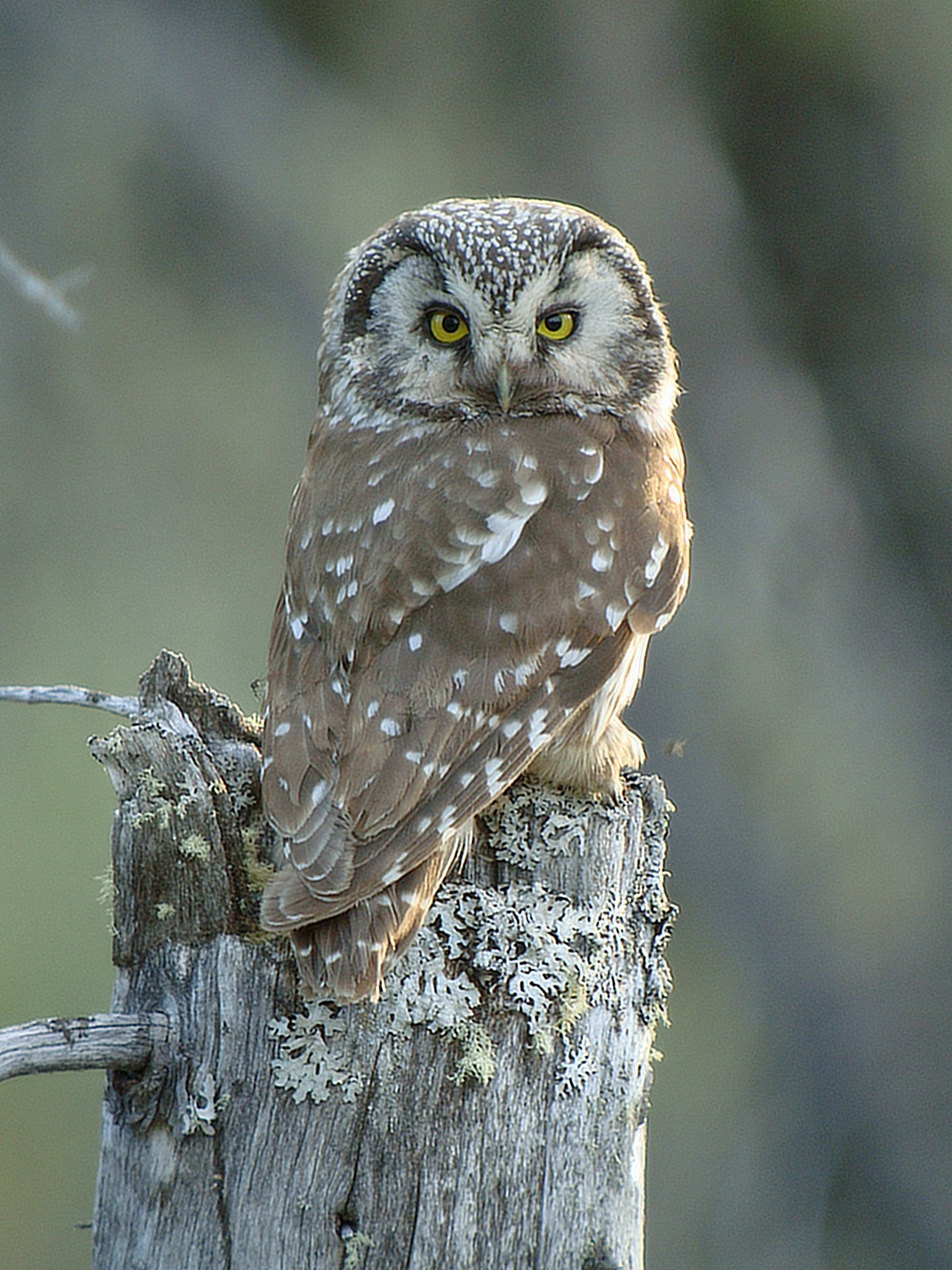 how to draw a boreal owl